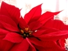 Flower_poinsettia_d2